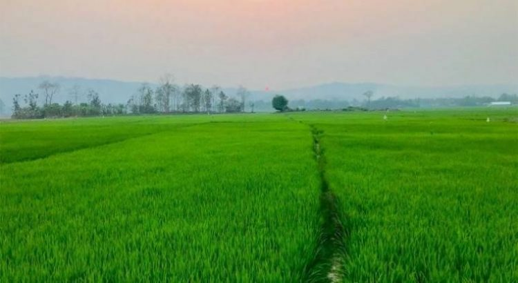Green paddy fields also have paved narrow walk paths in between, sunset time almost evening of New Zealand para, Bangladesh.