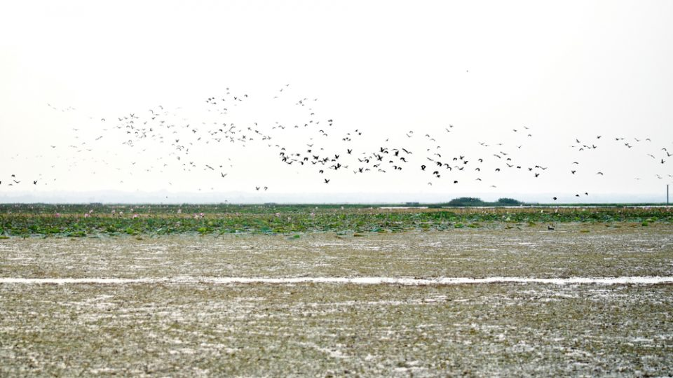 In winter, a lot of migrant birds came to Bangladesh wetlands from colder regions of the globe. Those are some of them. Captured from Baikka Beel Wildlife Sanctuary, Srimangal, Moulavibazar, Bangladesh