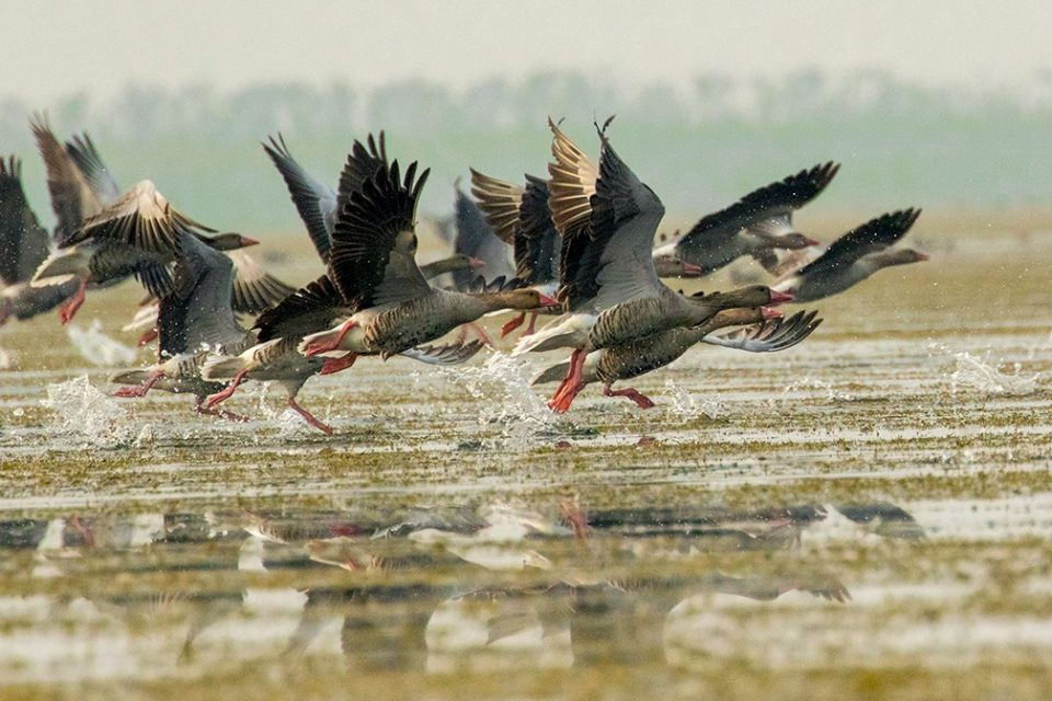 Migratory birds are taking off in Tanguar Haor , creates an awesome scene to enjoy for tourists