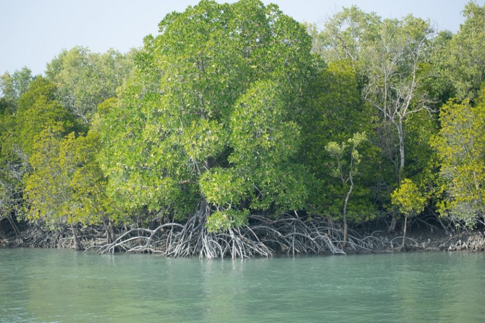 Mangrove forest of Sundarban Biosphere reserve. Sundarban is the largest delta in the world. Earth day
